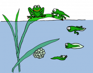 frog, tadpole, žabka